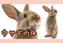 ウサギの体