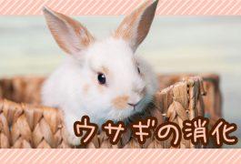 ウサギの消化