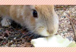 ウサギの副食